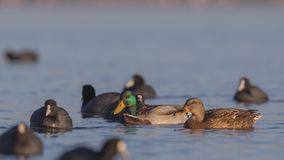 Mallard Couple Among Coots. Mallard couple Anas platyrhynchos is swimming among coots  on clear blue sea Stock Photo
