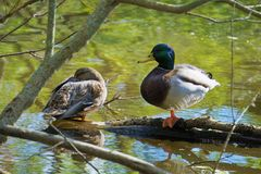 Mallard Couple Catching Rays in Autum royalty free stock photos
