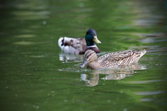 Mallard couple. Mallard duck couple ( Anas platyrhynchos ) swimming on pond Royalty Free Stock Photo