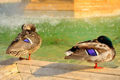 Mallard couple. Female left and male wild ducks resting by the fountain in st peter`s square Vatican,Rome .The mallard or wild duck Anas platyrhynchos is a Royalty Free Stock Image
