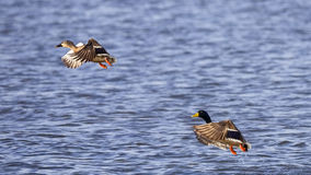 Mallard Couple. Female and male mallard Anas platyrhynchos in flight Royalty Free Stock Images