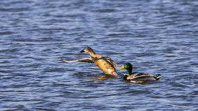 Mallard Couple. Female and male mallard Anas platyrhynchos just before flight on rough blue waters Stock Images
