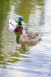 Mallard Couple. Male and female mallard couple hang out in the lake Royalty Free Stock Photo