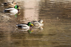 Mallard couple. Mallards swimming in a small pond Stock Photo