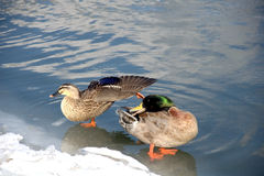 Mallard combing feathers. A couple of marlard are resting on the bakn of the songhua river Stock Image