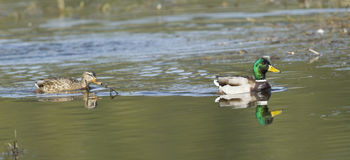 Mallard couple panorama. A panoramic image of a Mallard Couple in Hauser Lake, Idaho Stock Images