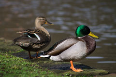 Mallard Couple. Standing next to canal Royalty Free Stock Photography