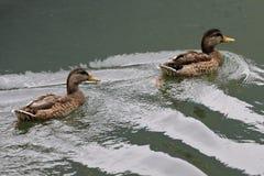 Mallard couple swim in the lake Stock Photos