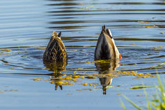 Mallard couple upside down. A male and female mallard are upside down in search of food at Hauser Lake, Idaho Royalty Free Stock Images