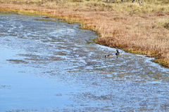 Mallard couple in a water. Wild duck couple in swamp waters Royalty Free Stock Photo