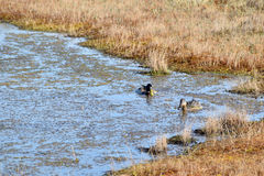 Mallard couple in a water. Wild duck couple in swamp waters Stock Photography
