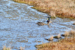 Mallard couple in a water. Wild duck couple in swamp waters Stock Photos