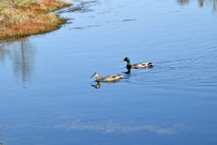 Mallard couple in a water. Wild duck couple in swamp waters Royalty Free Stock Image