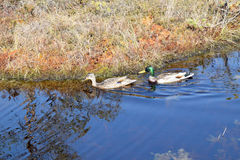 Mallard couple in a water. Wild duck couple in swamp waters Royalty Free Stock Photography