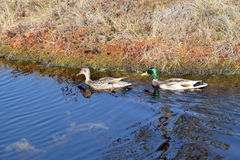 Mallard couple in a water. Wild duck couple in swamp waters Royalty Free Stock Images