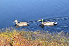 Mallard couple in a water. stock images