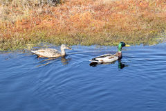 Mallard couple in a water. Royalty Free Stock Image