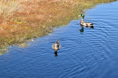 Mallard couple in a water. Wild duck couple in swamp waters Royalty Free Stock Photos