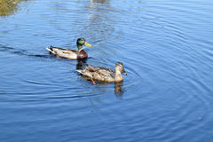 Mallard couple in a water. Stock Photos