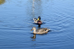 Mallard couple in a water. Wild duck couple in swamp waters Stock Image