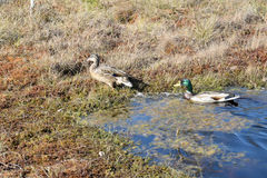 Mallard couple in a water. Wild duck couple in swamp waters Stock Photo