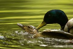 Mallard Coupling. Mallard pair, hen and drake coupling on green pond Royalty Free Stock Image