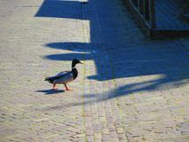 Mallard crossing the road in Dutch fishing village. Mallard crossing cobbled road in spring sunshine Stock Photos