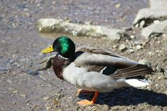 The mallard is a dabbling duck that breeds throughout the temperate and subtropical Americas, Eurasia, and North Africa. The Mallard is easily recognized and is Royalty Free Stock Photos