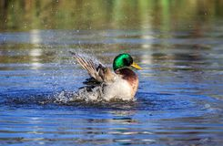 A Mallard duck having a bath in the morning. The mallard is a dabbling duck that breeds throughout the temperate and subtropical Americas, Eurasia, and North Royalty Free Stock Photography