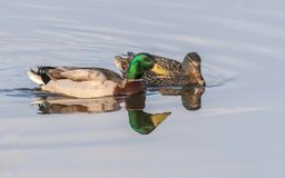 Mallard Duck Pair. The mallard is a dabbling duck that breeds throughout the temperate and subtropical Americas, Eurasia, and North Africa Stock Photo