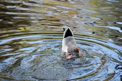 Male mallard duck Anas Platyrhynchos with his head into the water. The mallard is a dabbling duck of the family Anatidae, genus  Anas royalty free stock photo