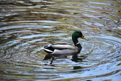 Male mallard duck Anas Platyrhynchos on the water. The mallard is a dabbling duck of the family Anatidae, genus  Anas stock images