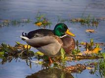 Mallard. Dabbling duck, Mallard, is standing in a shallow water Stock Photos