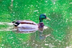 Mallard dans l'étang Photo stock