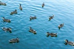 Mallard dans l'eau bleue du lac au centre de la ville Photos stock