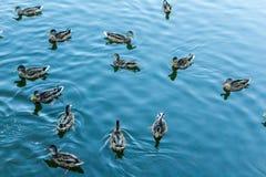 Mallard dans l'eau bleue du lac au centre de la ville Photo libre de droits