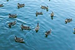 Mallard dans l'eau bleue du lac au centre de la ville Image stock