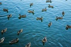 Mallard dans l'eau bleue du lac au centre de la ville Images libres de droits