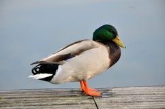 Mallard dans le lac Image libre de droits