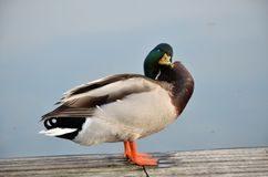 Mallard dans le lac Photo stock