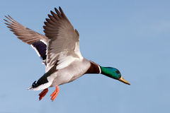 Mallard displays wings as it prepares to land. Stock Photography