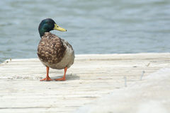 Mallard on Dock. Male Mallard duck standing on dock Stock Image