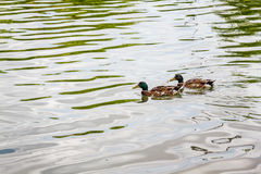Mallard domestique penche la natation dans l'étang Photographie stock libre de droits