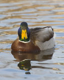 Mallard Drake. DRake Mallard relaxed in late evening light Royalty Free Stock Images