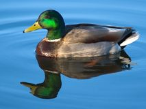 Mallard Drake. A male mallard swims on blue waters royalty free stock images