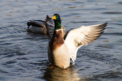 Mallard Drake. Adult Mallard Drake, flapping it's wings on the water Stock Photography