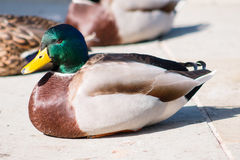 Mallard Drake. Adult male Mallard drake resting on pavement Royalty Free Stock Image