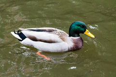Mallard Drake. Adult Mallard Drake, swimming in the canal Royalty Free Stock Photo