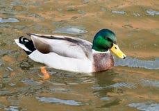 Mallard Drake. Adult Mallard Drake, swimming in the canal Royalty Free Stock Photo