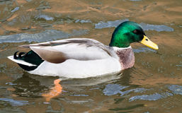Mallard Drake. Adult Mallard Drake, swimming in the canal Royalty Free Stock Photos